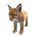 Iberian Lynx 