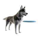 Husky - Frisbee 