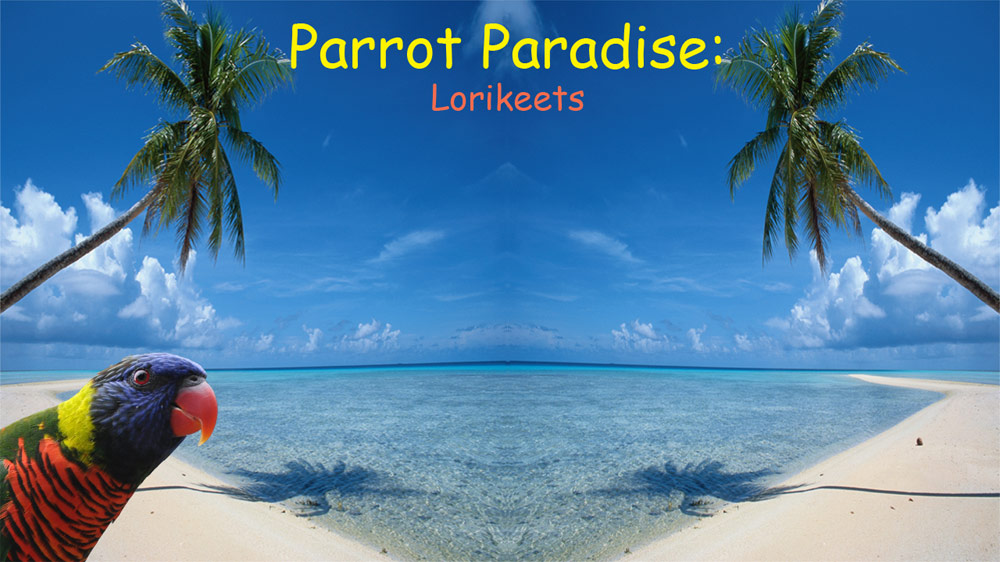 Image from Parrot Paradise: Lorikeets
